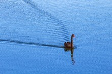 black swan all alone blue water